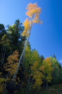 leaning, County Road 5, Ridgway, fall, colors, Colorado, tree