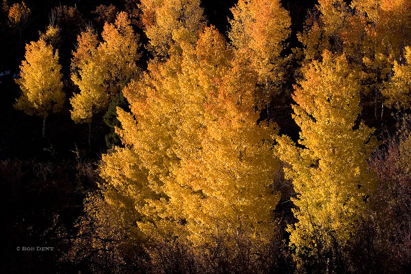 golden, fall, trees, Dallas Divide, Colorado, photo