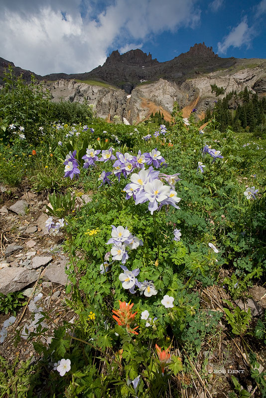 Columbines, Yankee Boy Basin, Uncompahgre National Forest, Ouray, Colorado, wildflowers, photo