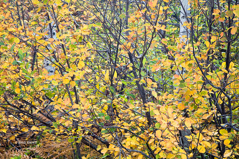 Aspens, Fall, Autumn, McClure Pass, Gunnison National Forest, Colorado, photo
