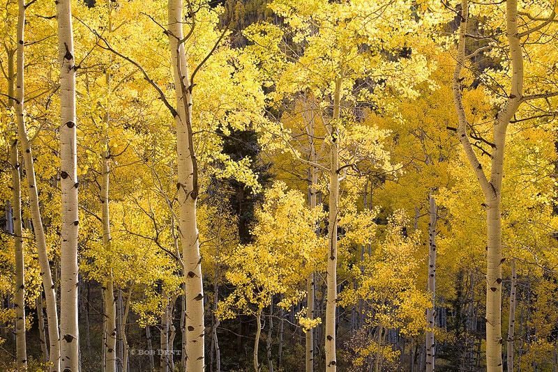aspens, autumn, fall, colorful, Castle Creek Road, Colorado