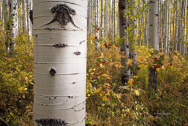 aspens, berries, autumn, fall, McClure Pass, Gunnison National Forest, Colorado