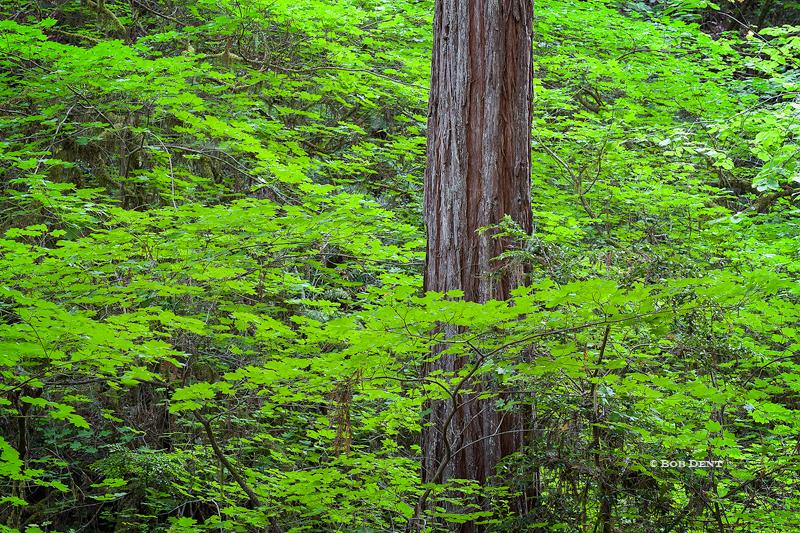 Redwoods, California, green