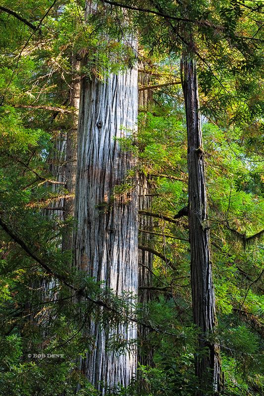 Redwoods, California, light, forest
